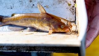 Freshwater pest caught from Lake Rotoiti.